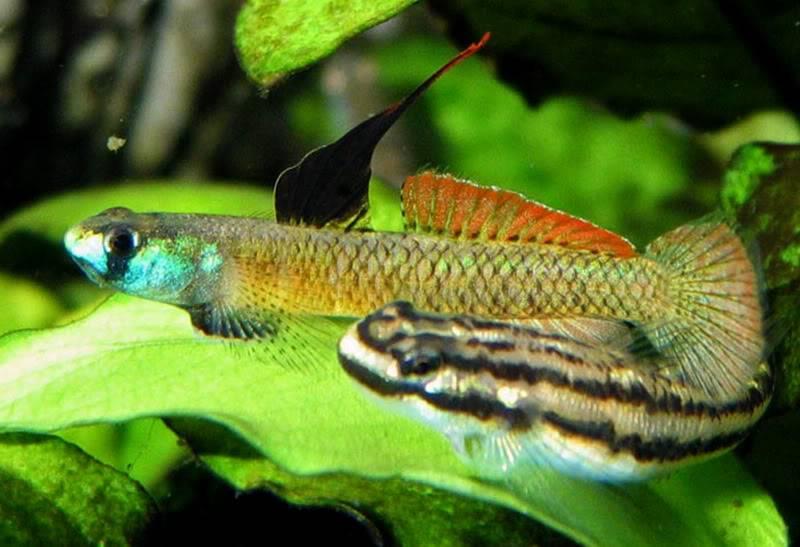Stiphodon percnopterygionus un poisson aux différents patrons de couleurs Stiphodonpercnopterygionus