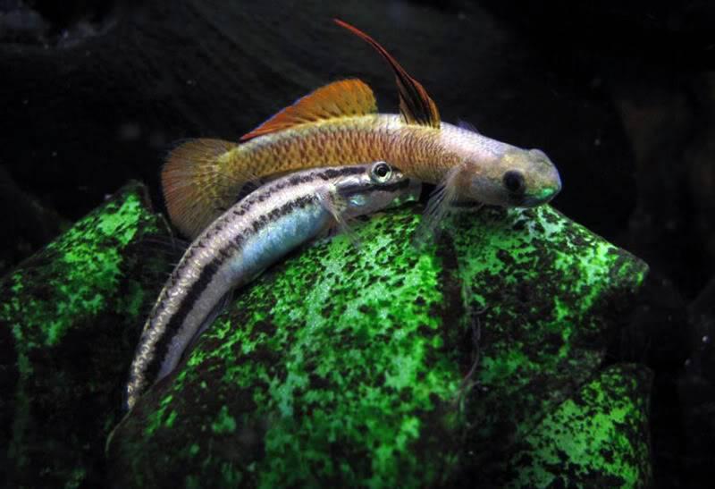 Stiphodon percnopterygionus un poisson aux différents patrons de couleurs Stiphodonpercnopterygionus1