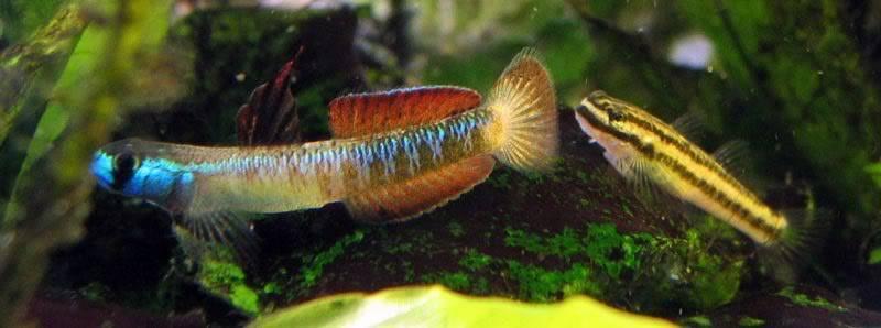 Stiphodon percnopterygionus un poisson aux différents patrons de couleurs Stiphodonpercnopterygionus10