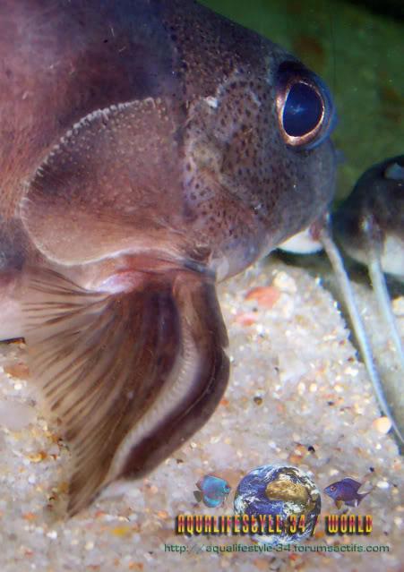 Synodontis decorus Synodontisdecorus