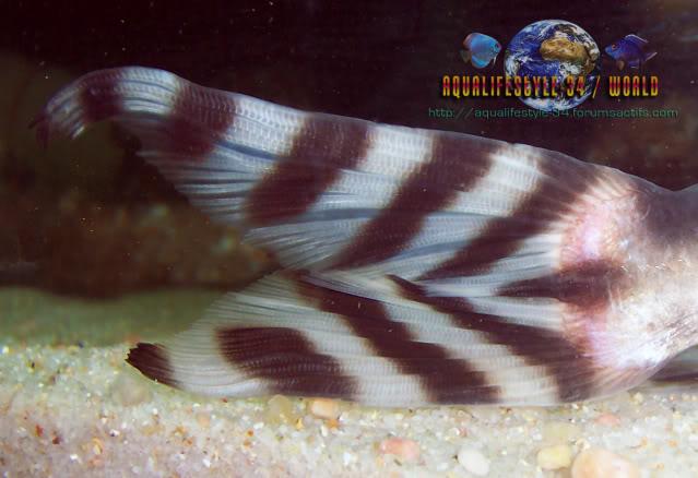 Synodontis decorus Synodontisdecorus6
