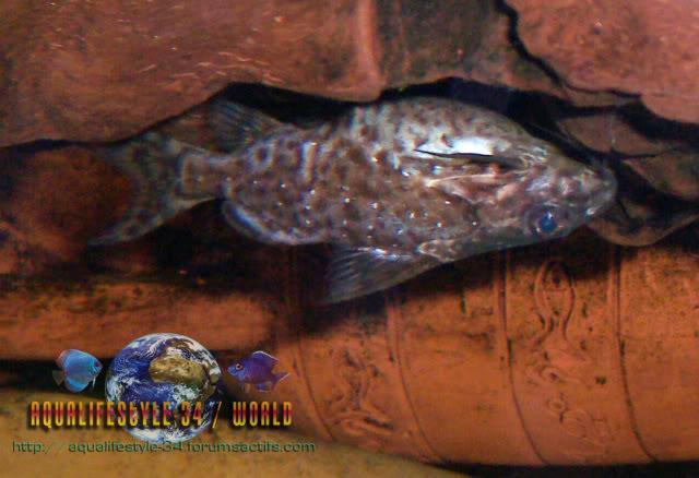 synodontis nigriventris Synodontisnigriventris2
