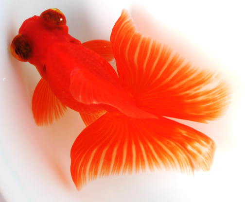 Goldfish is a combination of art and engineering Butterfly02