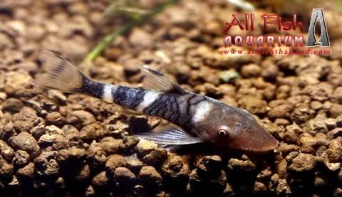 Nannoptopoma sp Peru NannoptopomaspPeru