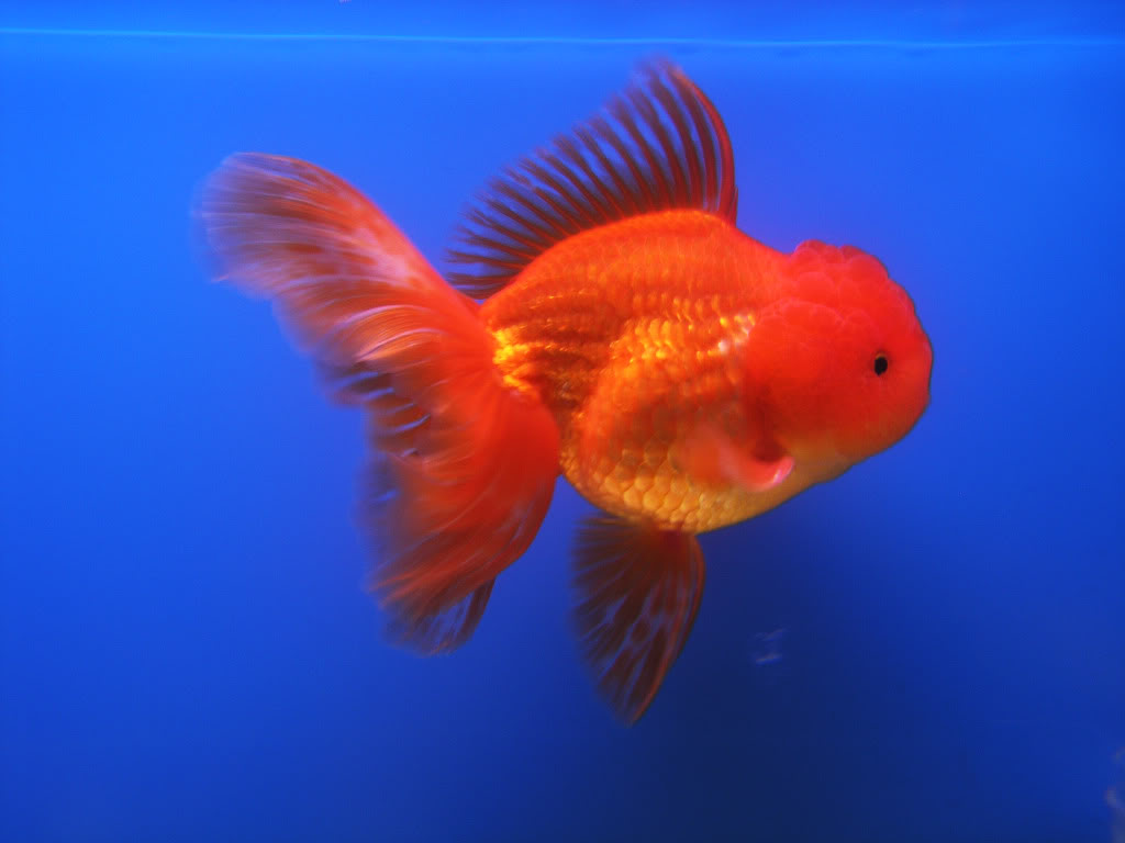 Goldfish is a combination of art and engineering Oranda07