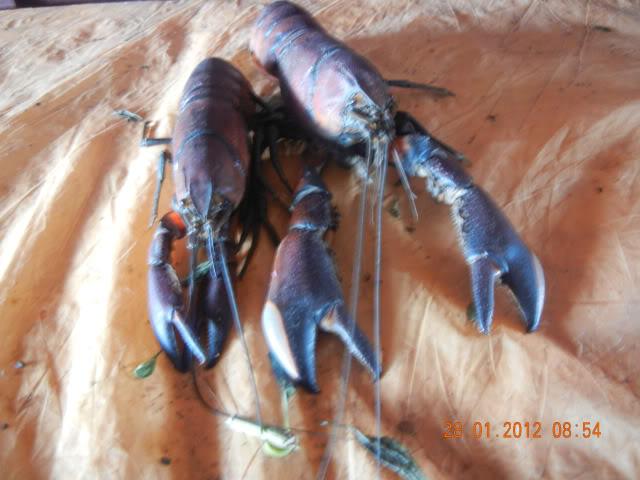 information- cherax irian jaya(crayfish-Krebse) Papualobsters24