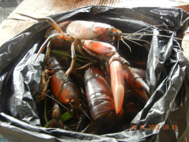 information- cherax irian jaya(crayfish-Krebse) Papualobsters25