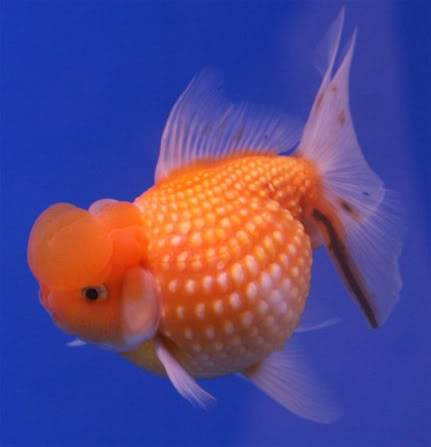 Goldfish is a combination of art and engineering Pearlscale01