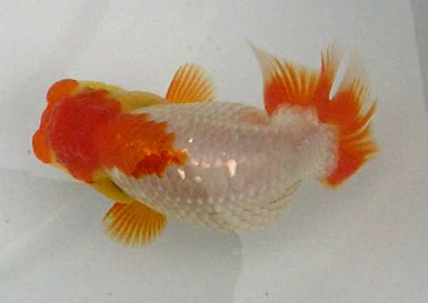 Goldfish is a combination of art and engineering Ranchu_TV02