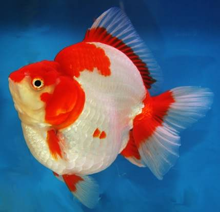Goldfish is a combination of art and engineering Ryukin01