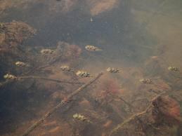 Débat sur la taille de l'aquarium pour le carinotetraodon travancoricus (Tetraodon nains) - Page 2 Carinotetraodon