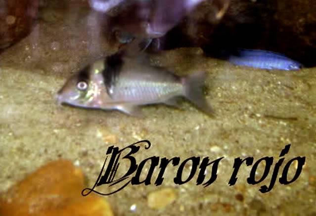 corydoras f0 from madre de dios river Corydorassp