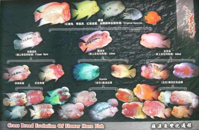 Le Flower horn est bien un poisson hybride Fh20evolution20chart