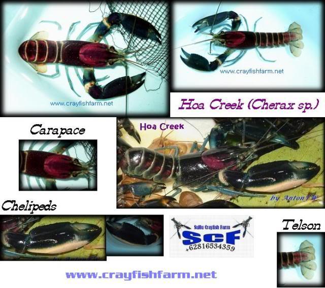 information- cherax irian jaya(crayfish-Krebse) Hoa-creek-spec