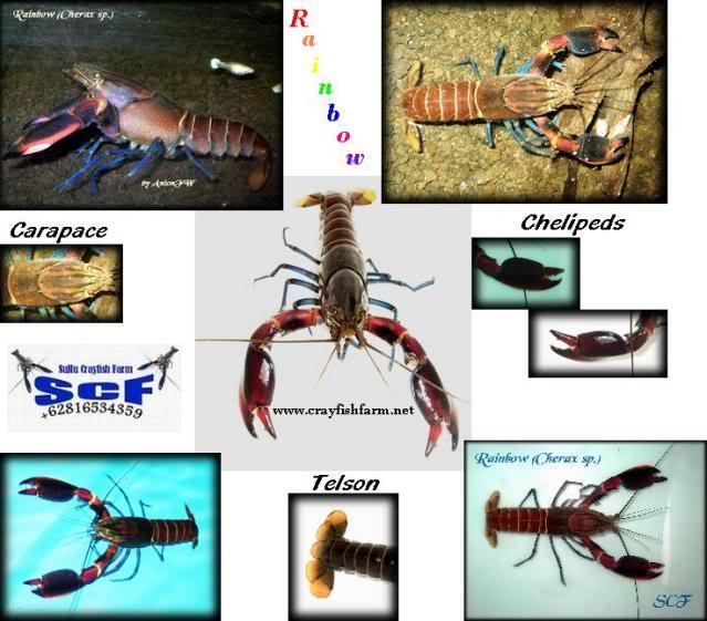 information- cherax irian jaya(crayfish-Krebse) Rainbow-spec