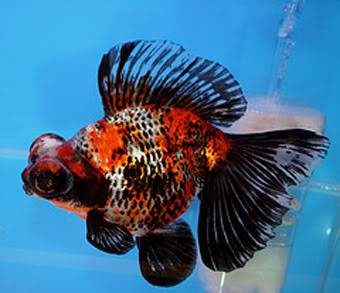 Goldfish is a combination of art and engineering Ryukin