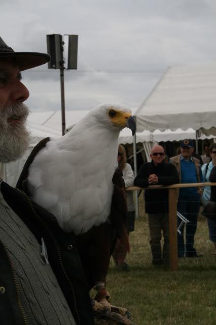 Comparação do tamanho de águias  com relação ao homem. Cla2009009