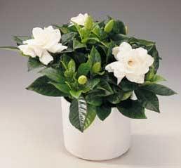 *¿ RECUERDAS? * Gardenia-jasminoides