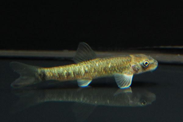 le garra rufa et le chin chin fish Garrarufa02