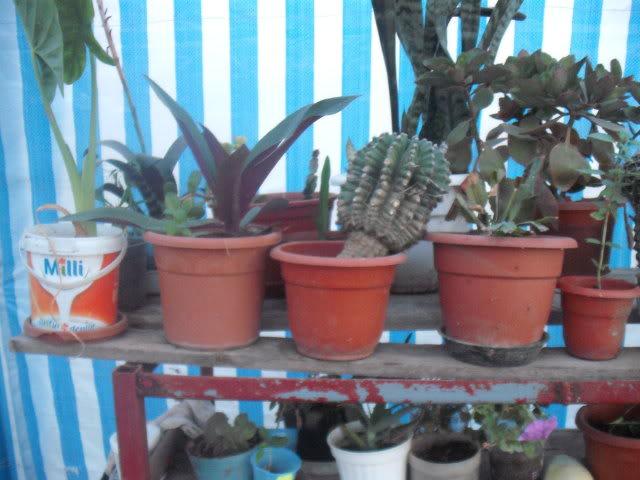 cactusii de toate felurile(ingrijirea si inmultirea lor) !!!!!! DSCF2061