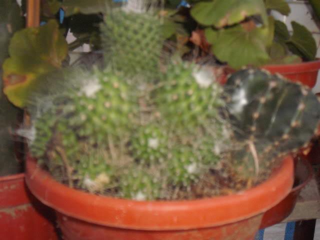 cactusii de toate felurile(ingrijirea si inmultirea lor) !!!!!! DSCF2091