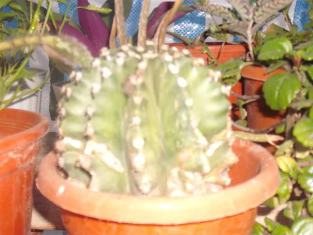 cactusii de toate felurile(ingrijirea si inmultirea lor) !!!!!! DSCF2092
