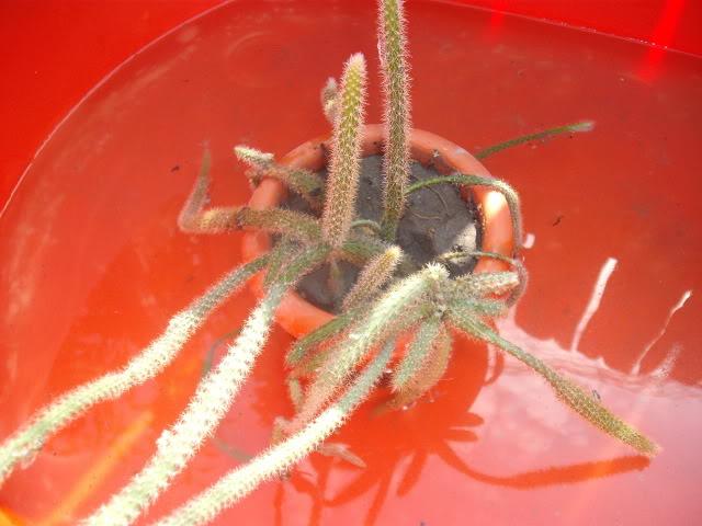 cactusii de toate felurile(ingrijirea si inmultirea lor) !!!!!! Alinanunta105