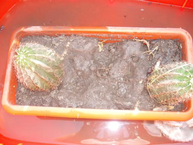 cactusii de toate felurile(ingrijirea si inmultirea lor) !!!!!! Alinanunta108