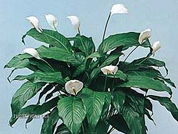Plants to Filter the Air in Your House Spathiphyllum