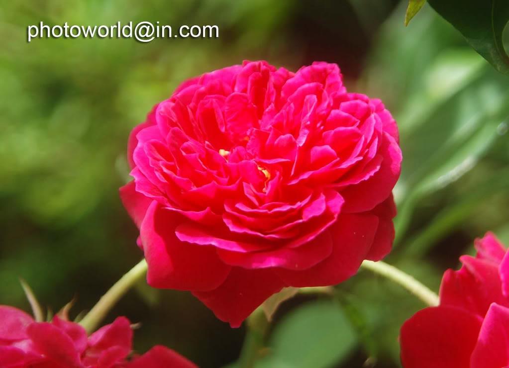 love rose flower Rose