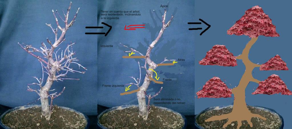 Duda con poda de Arce palmatum Plan1