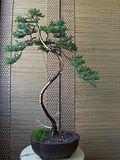 Un ienupar literati Th_14_juniperussquamatadeadwood