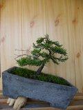 Ienupar shohin Th_4_juniperusvirginianadeadwood