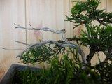 Ienupar shohin Th_5_juniperusvirginianadeadwood
