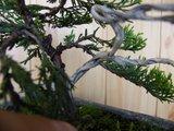 Ienupar shohin Th_7_juniperusvirginianadeadwood