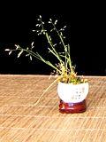 Cateva plante accent Th_sagina_Poa-pratensis