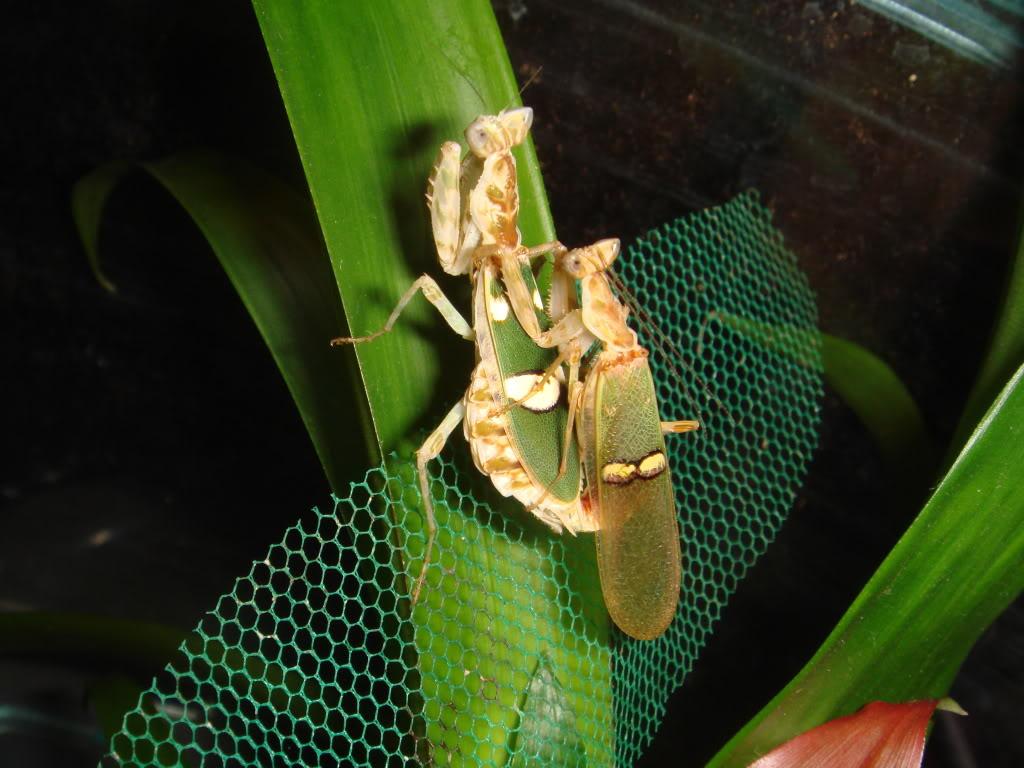 flower mantis breeding DSC04628