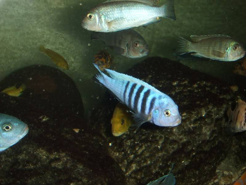 here are some pics of some of my fish 2009_06300001