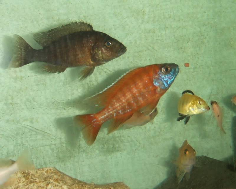 here are some pics of some of my fish 2010_022700031