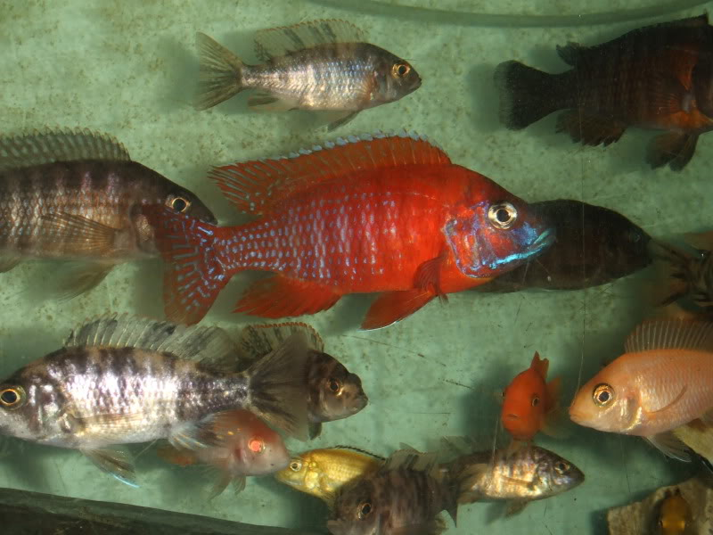 here are some pics of some of my fish 2010_0406000711