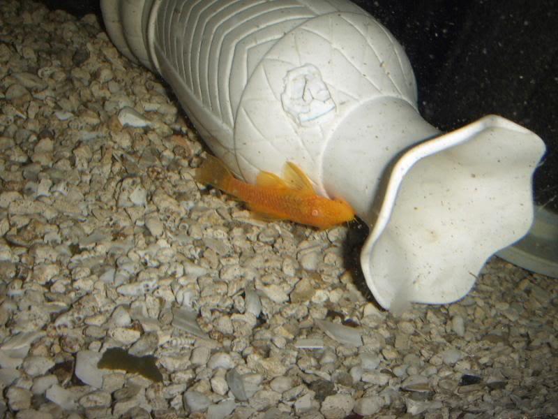 Albino Calico Bristle Nose Pleco - Page 2 DSCF0736