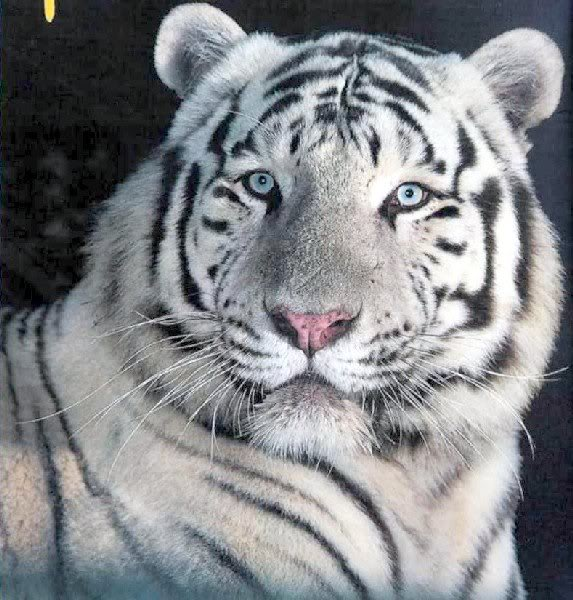 Lo bello de lo salvaje TigreBlanco
