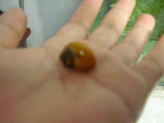 Eclosion de desove del caracol de manzana (etapas) P1012075-1