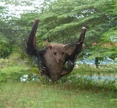 Netting Birds & Bats To Eat : Thailand Bat