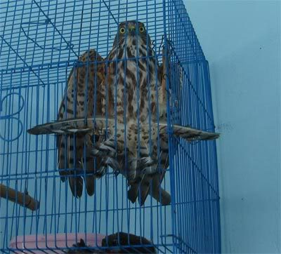 Netting Birds & Bats To Eat : Thailand Bat4