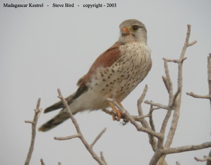 Falconiformes. sub Falconidae - sub fam Falconinae - gênero Falco - Página 2 Madagascar_kestrel_l