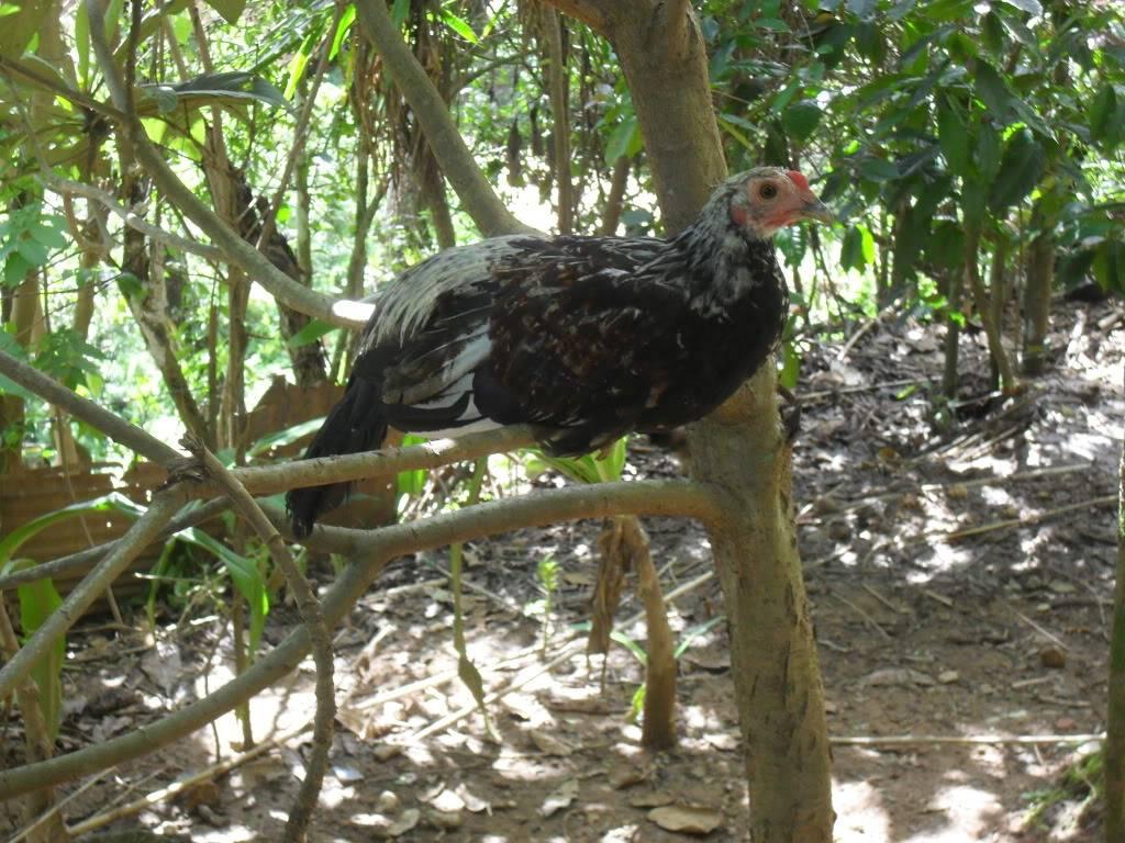 fotos de sus gallos - Página 2 SDC10191
