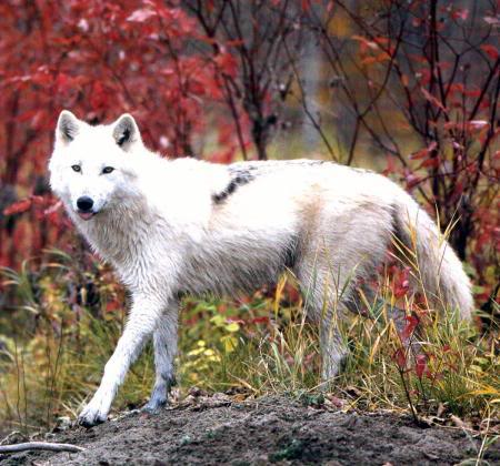 `Wolf Existence //PsychePack vs TartarusPack\\ Artic2