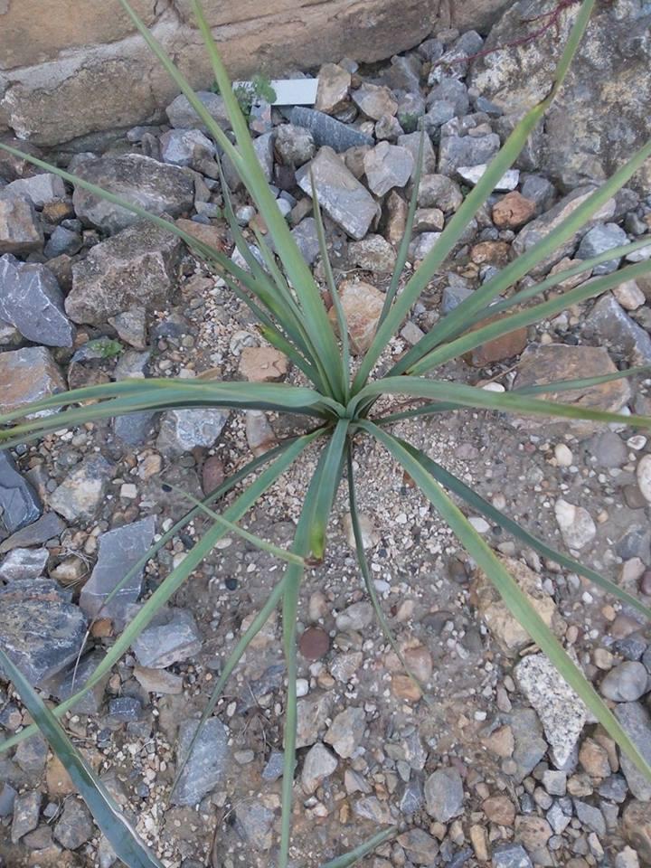 Mrazuodolné juky - rod Yucca - Stránka 10 14555789_1211382772261673_1103127105_n_zpsb6pu672d