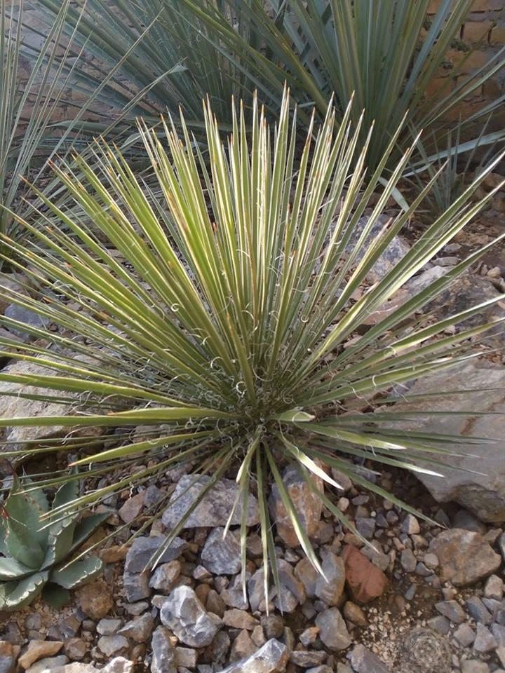 Mrazuodolné juky - rod Yucca - Stránka 10 14694679_1222776834455600_1133673181_n_zpsmlrhcamt